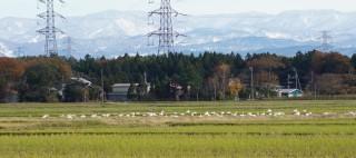 田んぼで餌をついばむ白鳥