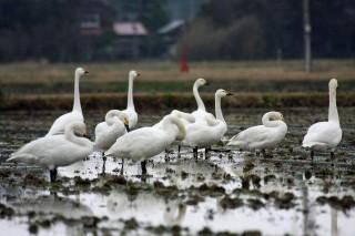 島田町内で撮影された白鳥の群れ